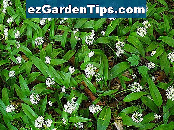 Allium Plant Care