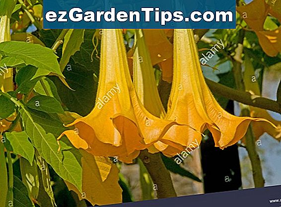Angel Trumpet Flower Care