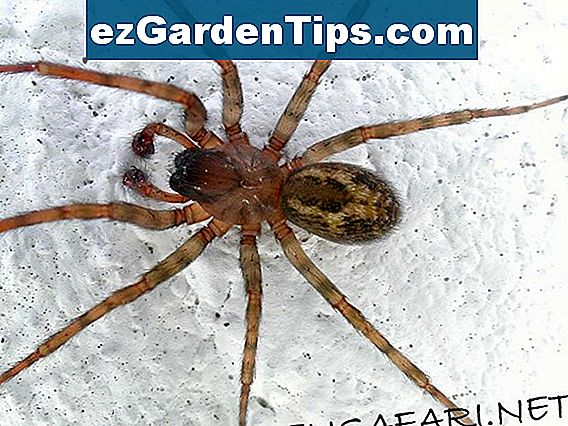 Er der Brown Recluse Spiders i Californien?