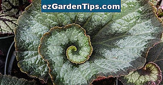 Rex Begonia Mold Problemer