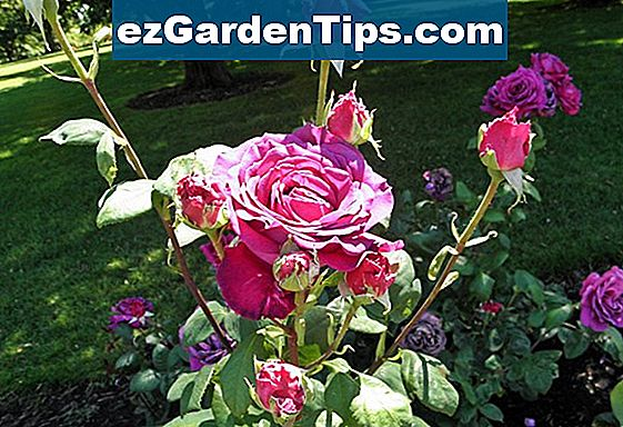 The Best Hybrid Tea Roses