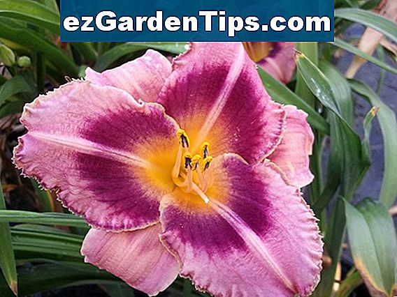 The Best Reblooming Daylilies