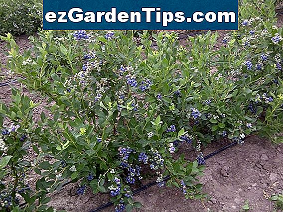 Blueberry Bush Krankheiten