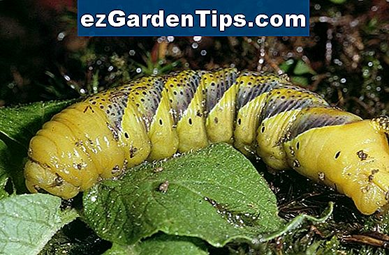 Caterpillars, der spiser Evergreen Bushes