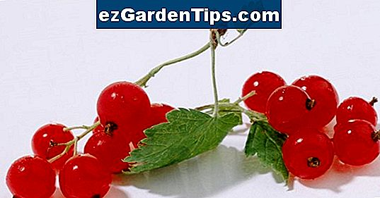 Currant Bush Disease