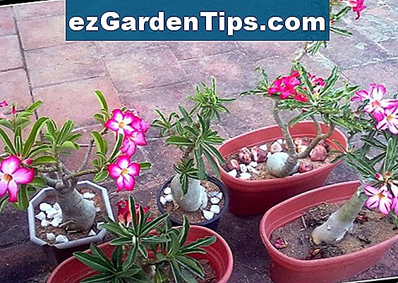 Desert Rose Care & Feeding