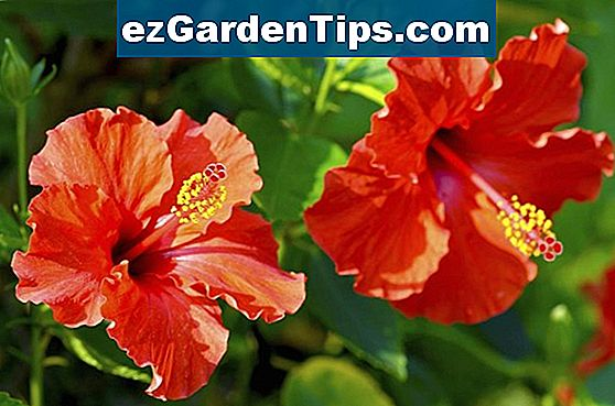 Desert Rose Care Instructions