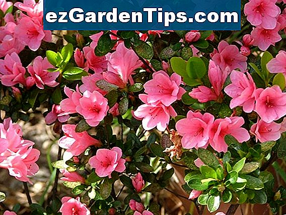 Varieties of Azaleas