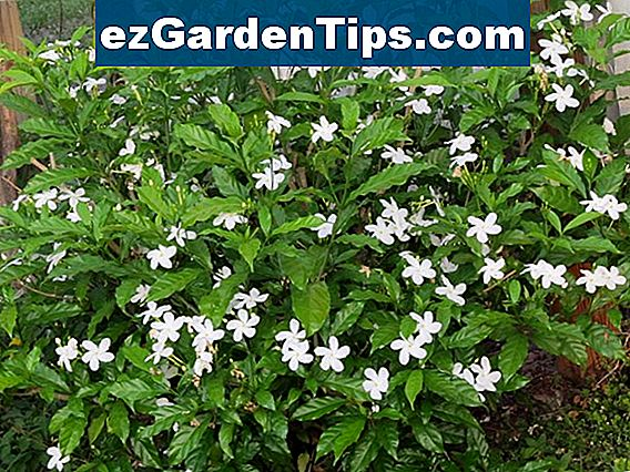 Jasminum Grandiflorum Care