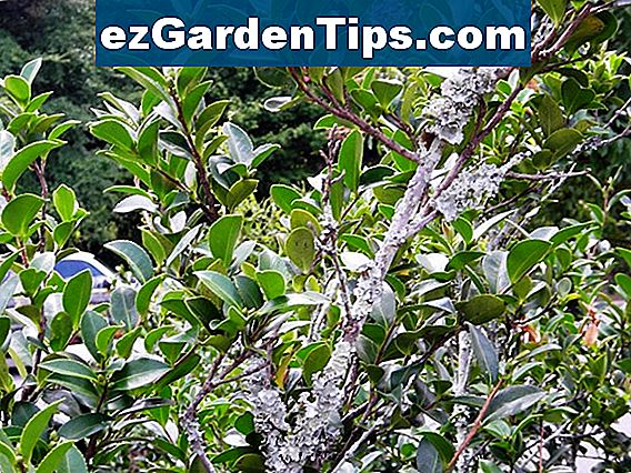Laurel Shrub Diseases