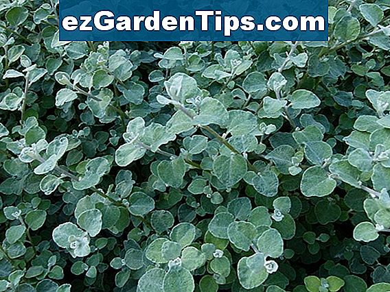 Licorice Vine Plant