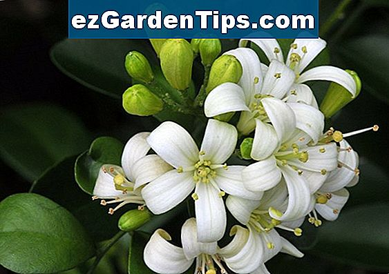 Night Jasmine Plant Care