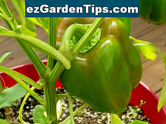 Ornamental Chili Pepper Planter