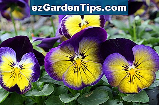 Pansies That Like Sun