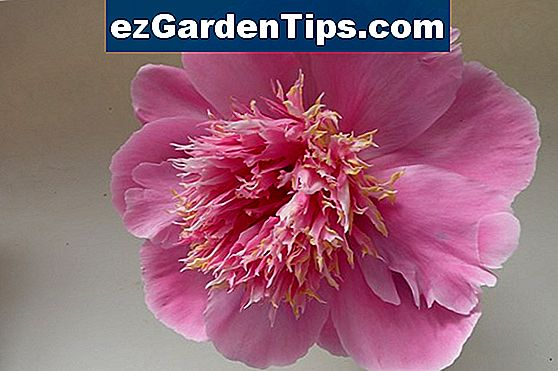 Peony Growing Conditions