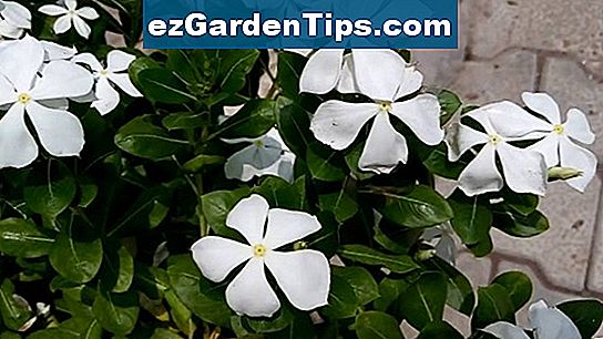 Periwinkle Flower Information