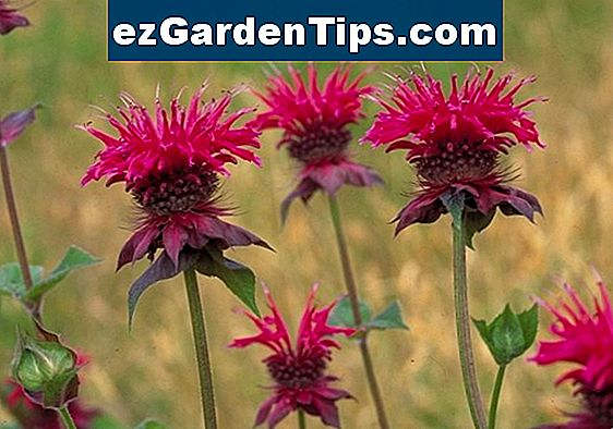 Scarlet Bee Balm Plant