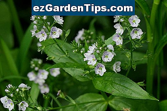 Serena Angelonia Plant Care
