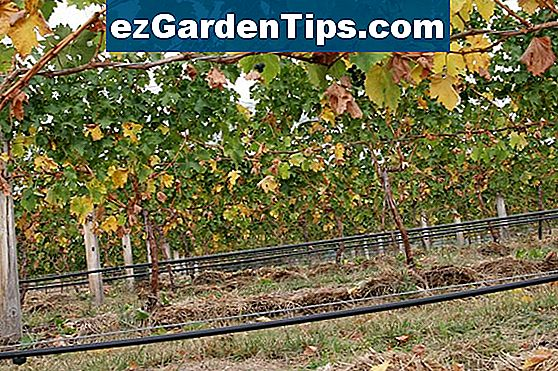 Grape Vine Root Systems