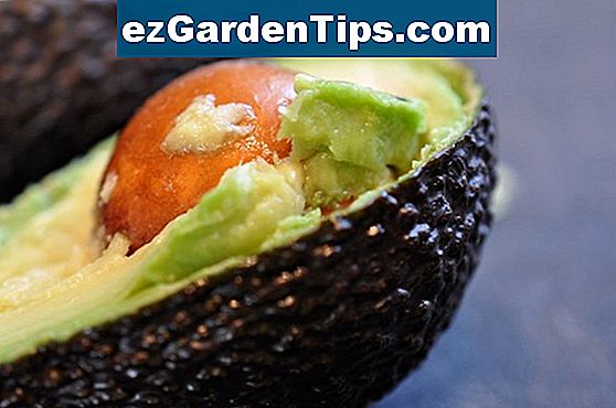 Fakta om Avocado Tree Roots