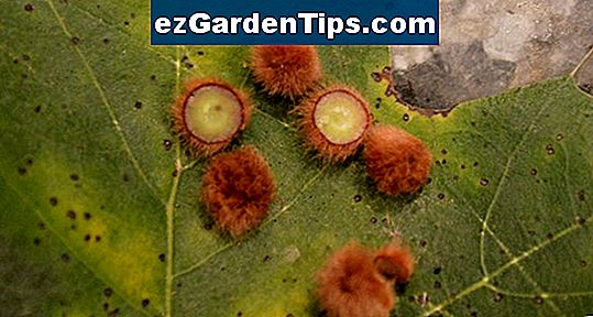 Insect Infestation i Pin Oak Trees