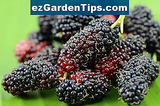 Mulberry Tree Facts