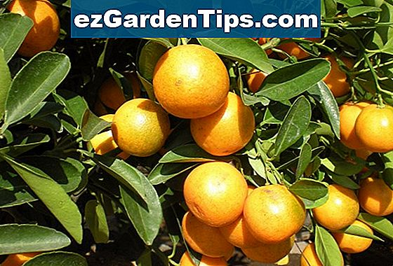 Kumquat Plants