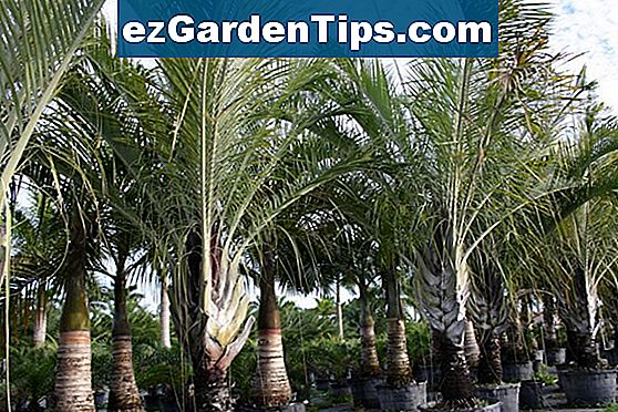 Triangle Palm Diseases