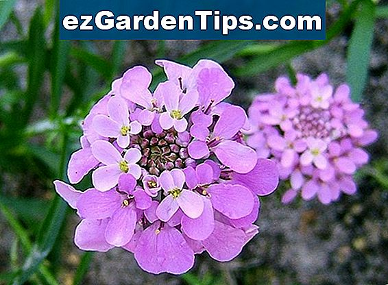 Candytuft Fast Facts