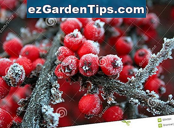 Krankheiten von Winterberry Holly Plants