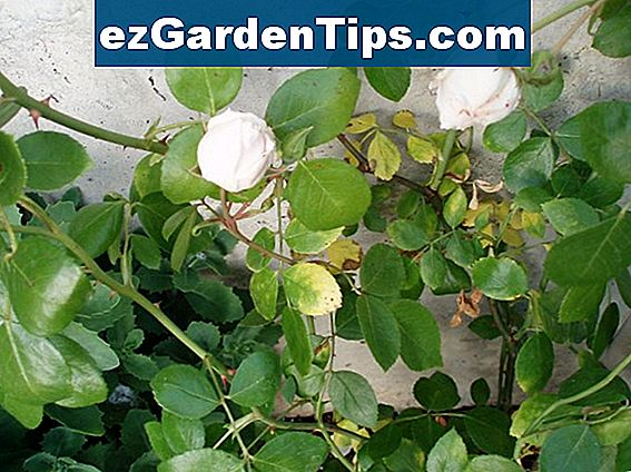 Probleme mit Rose Bush Bugs