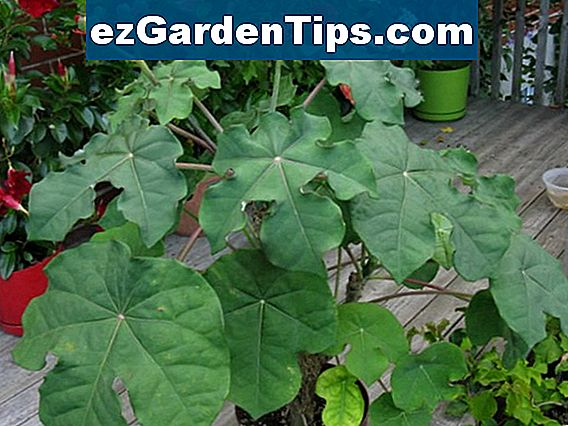Jatropha Integerrima Plant Care