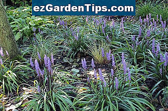 Liriope Plant Care Tips Gartnere Noezgardentipscom