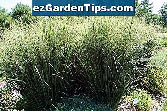 Red Fountain Grass Care