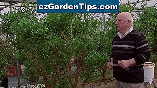 Comment planter un citronnier 🌱 Conseils Jardiniers - Fr.ezGardenTips.com