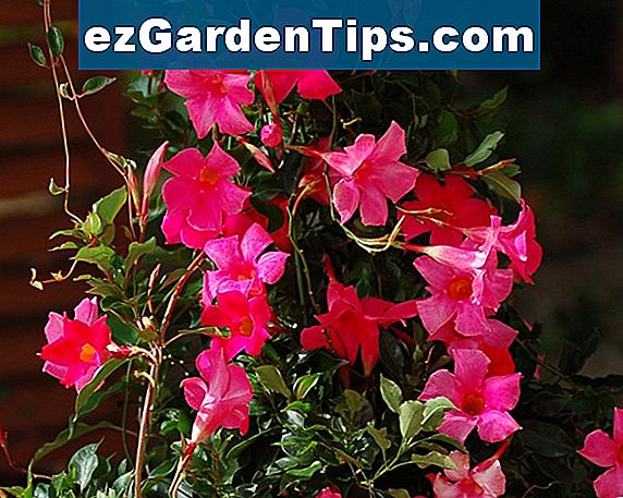 Crimson Mandevilla Care