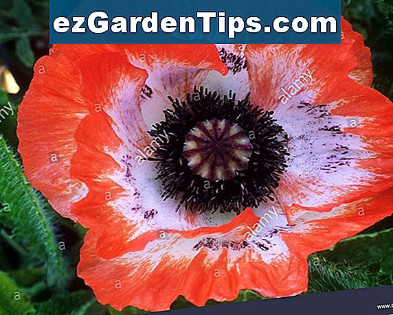 Poppy Flowers maaien