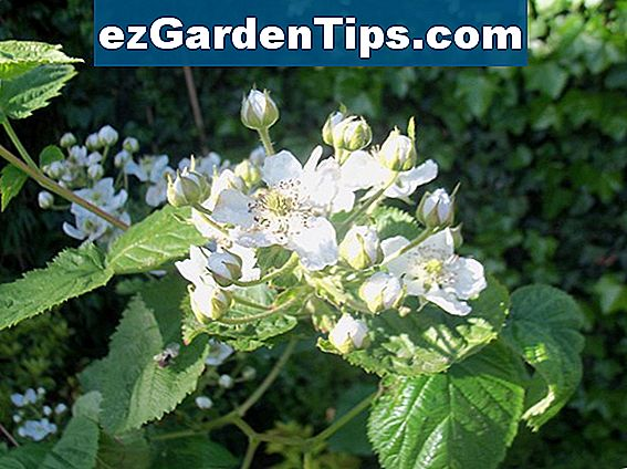 Informatie over Thornless Blackberry Plants voor Zone 8 & 9