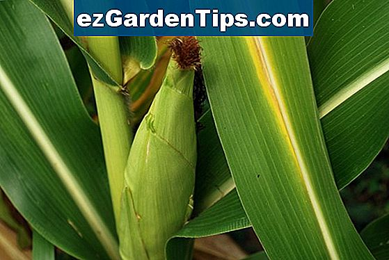Corn Husk Plant Care