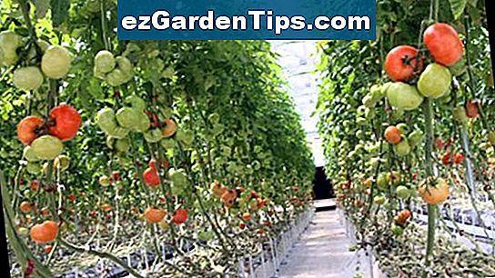 Hoe Natural Tomato Plant Food te maken