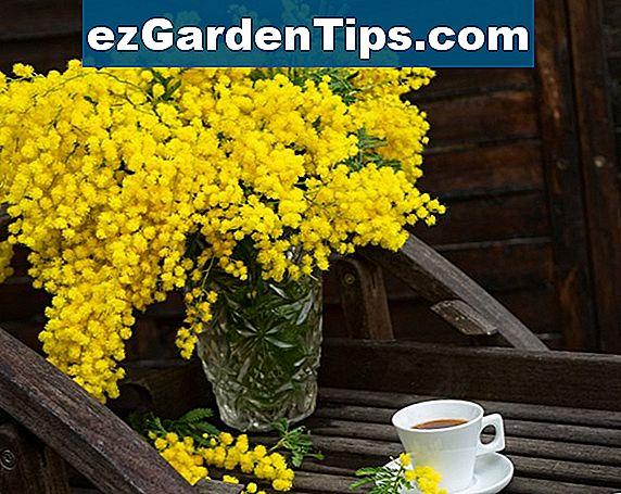 Hoe Mimosa Acacia Dealbata Te Snoeien Tips Tuinders Nl