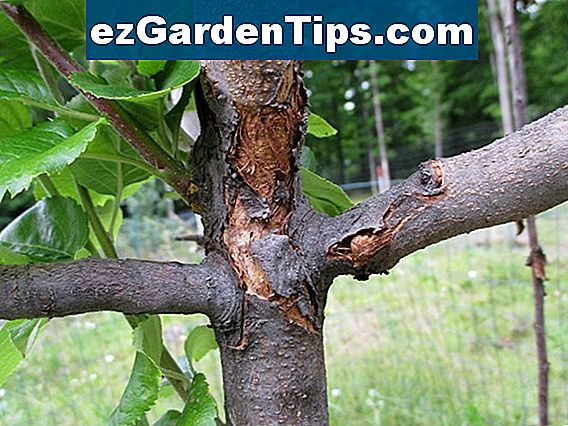 Maple Tree Trunk Rot Diseases