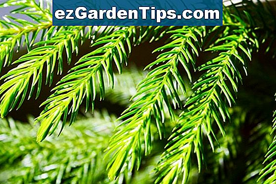 Norfolk Island Pine Plant Care
