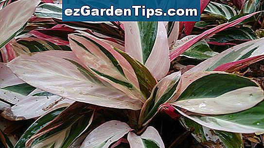 Variegated Ginger Plants