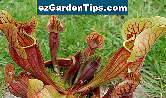 Pitcher Plant Bruk