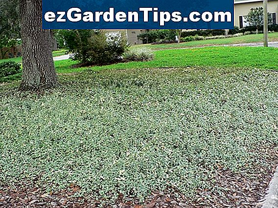 Asiatic Jasmine Vs. Vinca Minor