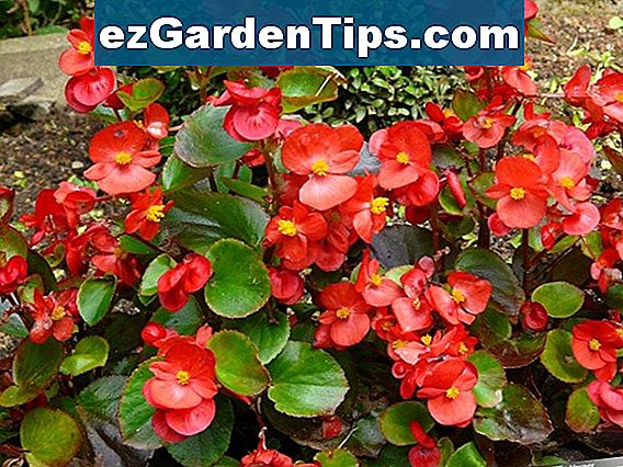 Impatiens Flower Idei combinate