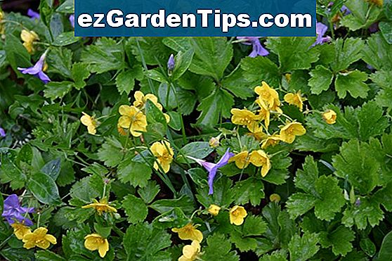 Yellow Perennial Groundcover
