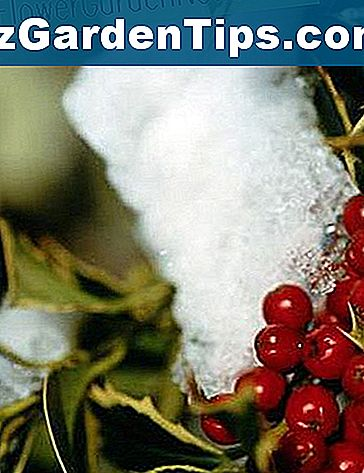 Jak Winterize Holly Berry Bush